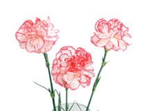 Bouquet of three carnations. Isolated on white Stock Image