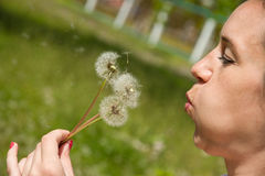 Bouquet of three dandelions Royalty Free Stock Photography