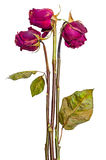 Bouquet of three dried roses. Bouquet of three dried red roses isolated on white background stock photos