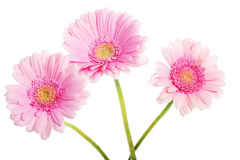 A bouquet of three gerbera flower. Stock Images