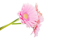 A bouquet of three gerbera flower. Royalty Free Stock Photography
