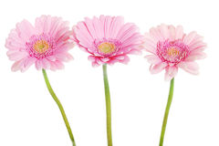 A bouquet of three gerbera flower. Stock Image