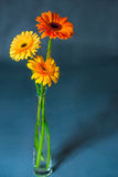 Bouquet of three gerbera in a glass vase Stock Images