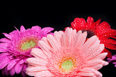 Bouquet gerbera Stock Photography