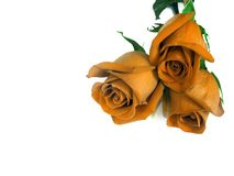 Bouquet from three orange roses. Royalty Free Stock Images