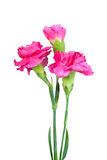 Bouquet of three a pink carnations royalty free stock photography