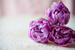 Bouquet of three purple tulips Royalty Free Stock Photography