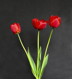 Bouquet of three red tulips Royalty Free Stock Photo