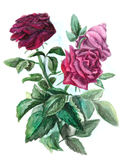 Bouquet with three roses - watercolor painting Royalty Free Stock Image