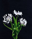 Bouquet of three white cornflowers Royalty Free Stock Photography