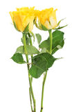 A bouquet of three yellow roses. Stock Photo