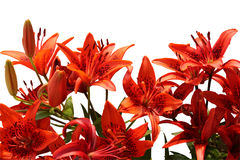 Bouquet of Tiger lilies. Red lilies. Isolated on white Stock Photos