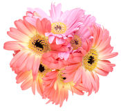 Bouquet of Transvaal daisy Stock Image
