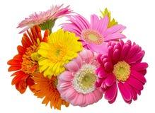 Bouquet of Transvaal daisy Stock Photo