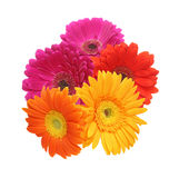 Bouquet of Transvaal daisy Royalty Free Stock Images