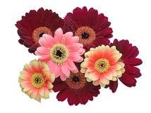 Bouquet of Transvaal daisy Royalty Free Stock Photos