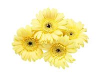 Bouquet of Transvaal daisy Stock Images