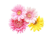 Bouquet of Transvaal daisy Royalty Free Stock Photography