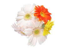 Bouquet of Transvaal daisy Stock Photo