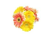 Bouquet of Transvaal daisy Royalty Free Stock Photo