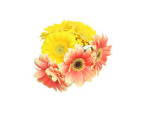 Bouquet of Transvaal daisy Royalty Free Stock Image