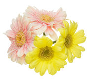 Bouquet of Transvaal daisy in a white background Stock Photo