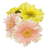Bouquet of Transvaal daisy in a white background Stock Photos