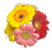 Bouquet of Transvaal daisy in a white background Royalty Free Stock Photo