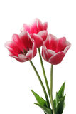 Bouquet of tulip Royalty Free Stock Photo
