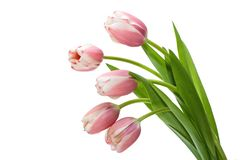 Bouquet Tulip. On white background Royalty Free Stock Photography