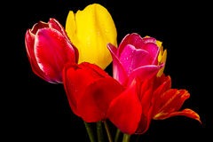 Bouquet of tulip on a black Royalty Free Stock Images