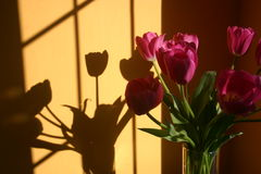Bouquet of tulip flowers with shadow. A bouquet of purple tulips in a vase, with a nice shadow from the sunlight Stock Image