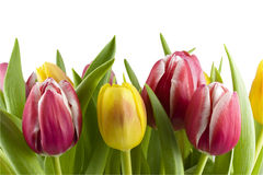 Bouquet of tulips Stock Photos
