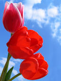 Bouquet of Tulips. On a background of the sky Royalty Free Stock Images