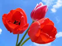 Bouquet of Tulips. On a background of the sky Stock Photos