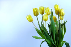 Bouquet of Tulips. Yellow tulips on blue stock images