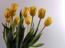 Bouquet of tulips Royalty Free Stock Photography