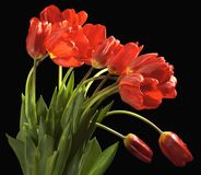 Bouquet of a tulips Royalty Free Stock Image