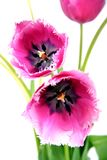 Bouquet of tulips. Royalty Free Stock Photo