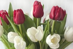 Bouquet Tulips. Bouquet Red and White Tulips stock photos