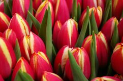 Bouquet of tulips. Bouquet with pink tulips. Focus on the middle one royalty free stock photo