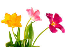 Bouquet of tulips Stock Image