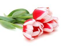 Bouquet of tulips Stock Photos