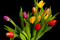 Bouquet of tulips on black. An image of a  bouquet of fresh spring tulips, some in bud, set against a plain dark background Stock Images