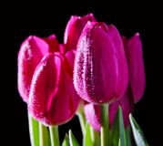 A bouquet of tulips on a black. A bouquet of pink tulips on a black background stock photos