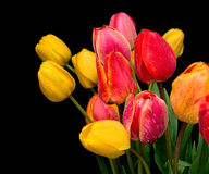 Bouquet of tulips on a black background Stock Image