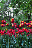 Bouquet of tulips. colorful tulips. tulips in spring,colourful tulip Stock Image