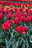 Bouquet of tulips. colorful tulips. tulips in spring,colourful tulip Stock Photos