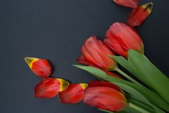 A bouquet of tulips on a gray background with petals royalty free stock photography