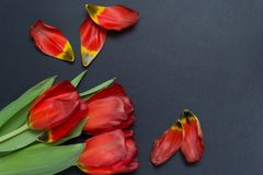 A bouquet of tulips on a gray background with petals royalty free stock images